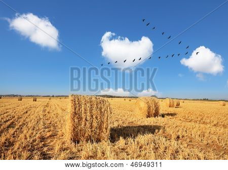 Wheat stacks beautifully and symmetrically stand in rows. Triangular bird flock flying over the field after harvest.
