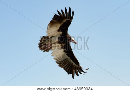 Kupferglucke-faced Vulture