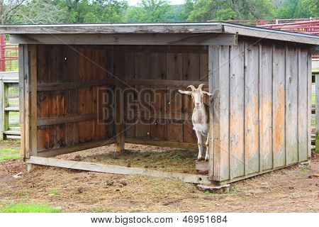 Little goat hides in a shed