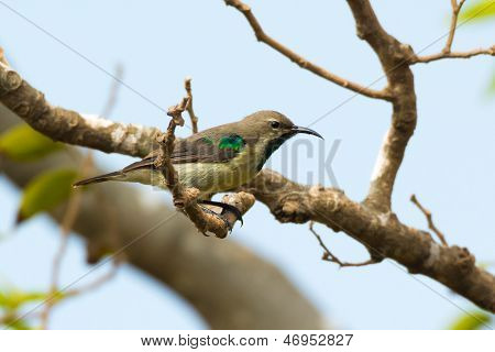 A Young Male Sunbird