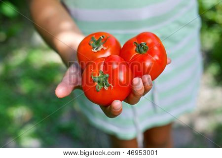 Kid hands holding tomatoes