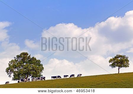 Dairy cows grazing on a hillside between two oak trees against a bright blue cloudy sky.