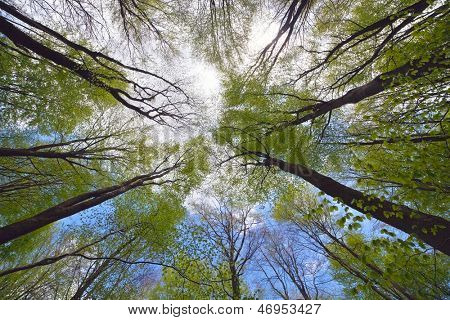 Looking high into the tree canopy of a beech forest during springtime on a bright sunny day with blue sky and white fluffy clouds.