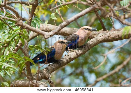 Two Blue-bellied Rollers In A Tree