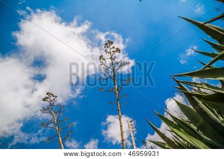 Stems Of Agave
