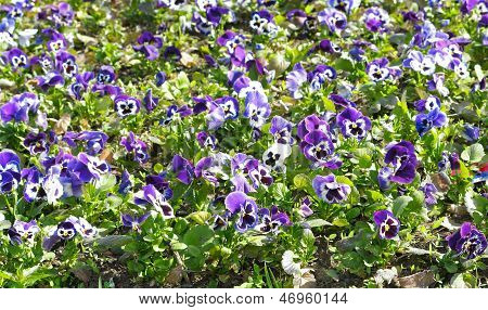 A Flower Bed With Violets