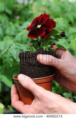 Potting Pansy Seedling