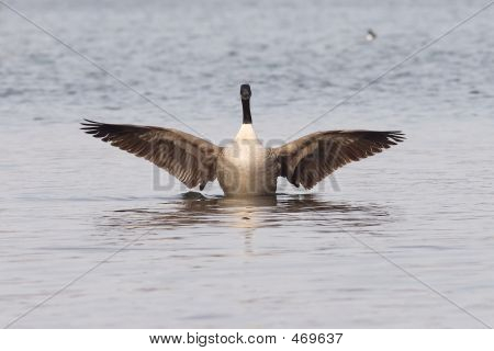 Canadian Goose With Widened Wings