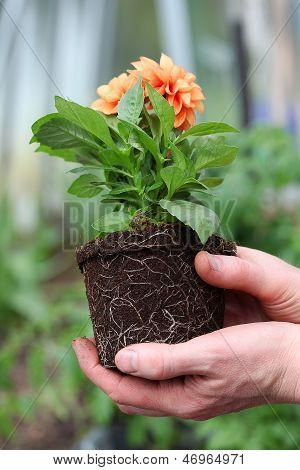 Back Of Dahlia Seedling