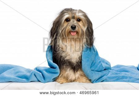Cute Sitting Tricolor Havanese Dog In A Bed