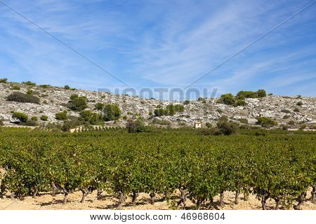 Vineyard In South France