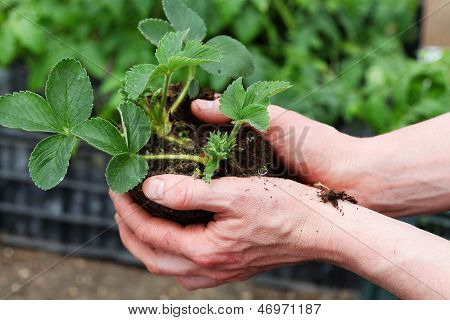 Preparing Strawbery Plant For Planting