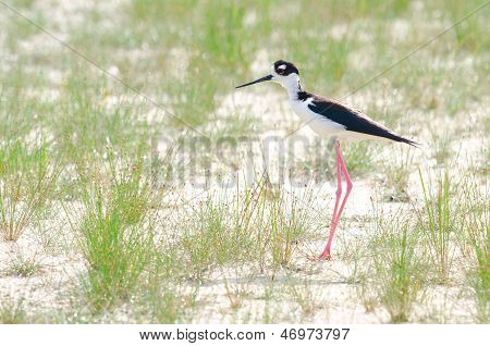 Black-necked Stilt