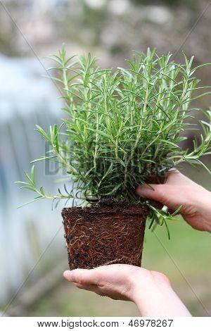 Checking Rosemary Seedling