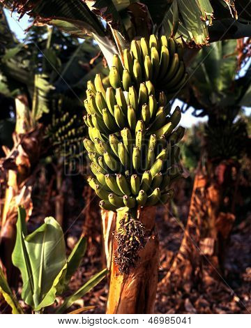 Green bananas on plant, Tenerife.