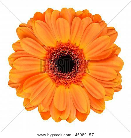 Orange Gerbera Flower Isolated On White