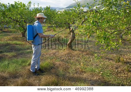 Spraying A Lemon Plantation