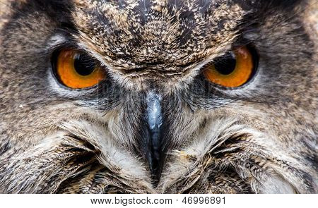 Coruja de águia Eurasian