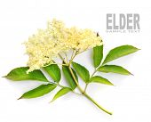 foto of elderberry  - The Elder or Elderberry  - JPG