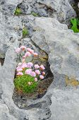 Thrift (Armeria maritima) on rock, Ireland