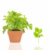 pic of feverfew  - Feverfew herb growing in a terracotta pot with leaf sprig over white background with reflection - JPG