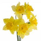stock photo of jonquils  - Yellow jonquil flowers isolated on white background - JPG