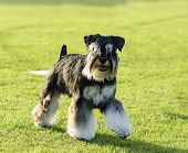 stock photo of schnauzer  - A small black and silver Miniature Schnauzer dog walking on the grass looking very happy - JPG
