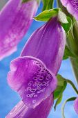 stock photo of digitalis  - Close up of the flowers of a Common Foxglove  - JPG