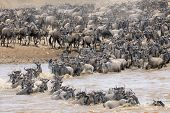stock photo of wildebeest  - Herd of Wildebeests crossing the Mara river - JPG