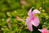 image of hibiscus  - Beautiful pink hibiscus flowers in the garden - JPG