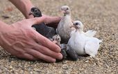 foto of pigeon loft  - Pigeon Nestlings Birds on sand and Man Hands holding Birds - JPG