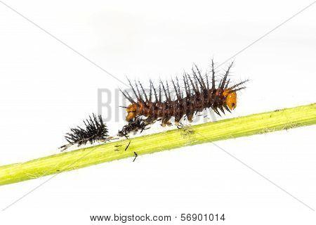 Caterpillar Of Tawny Coster Butterfly