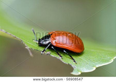 Wild Red Cercopidae Vulnerata Coccinellidae Anatis Ocellata
