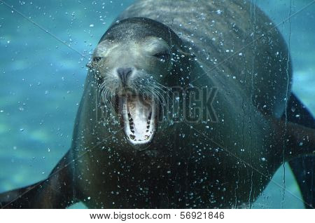 Sea ??lion opening its mouth under water