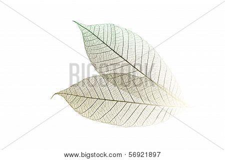 Skeletal Leaves On White