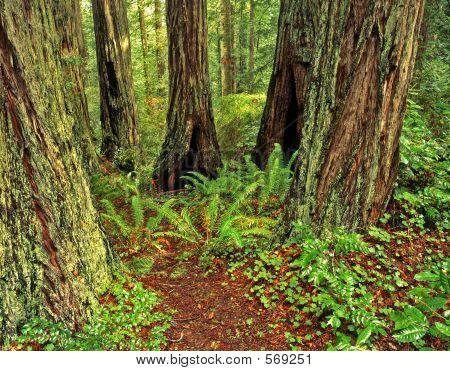 Redwood Forest3