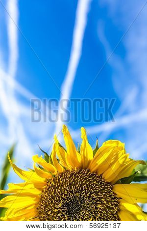 Yellow Sunflower Under A Blue Sky With Contrails