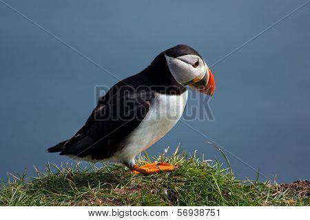 Puffin On Faroe Islands
