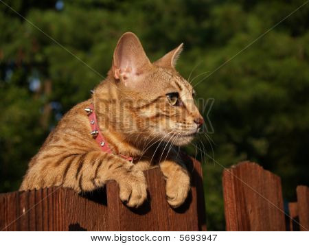 Female Serval Savannah Cat