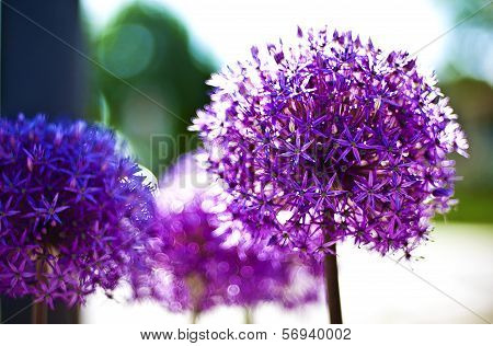 Purple Pom