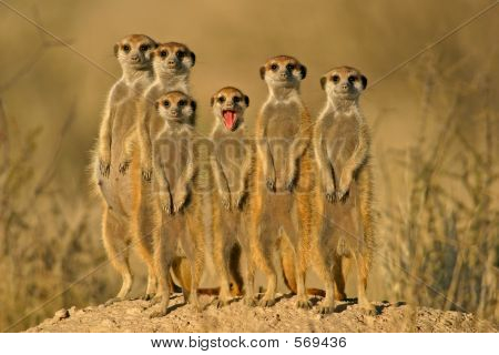 Suricate (Meerkat) Family