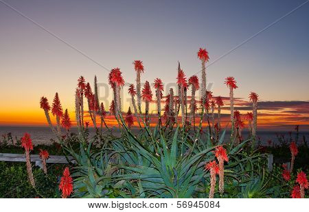 Cactus Flowers On The Beach