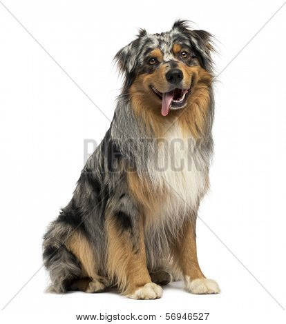 Australian shepherd blue merle, sitting, panting, 4 years old, isolated on white