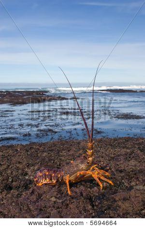 Crayfish 01
