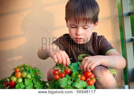 Cute little boy gather homegrown cherry tomatoes