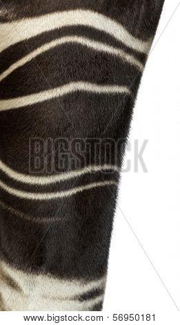 Close-up of an Okapi's fur, Okapia johnstoni, isolated on white