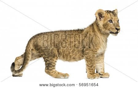 Side view of a Lion cub standing, looking away, 10 weeks old, isolated on white