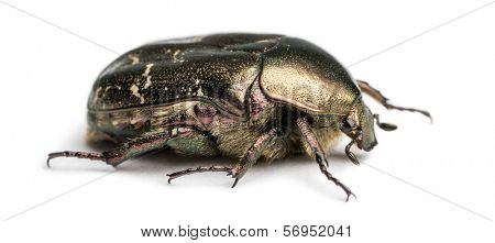 Side view of a Rose chafer, Cetonia aurata, isolated on white