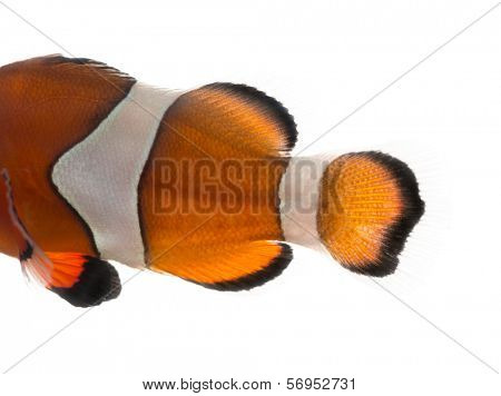 Close-up of an Ocellaris clownfish's body Amphiprion ocellaris, isolated on white