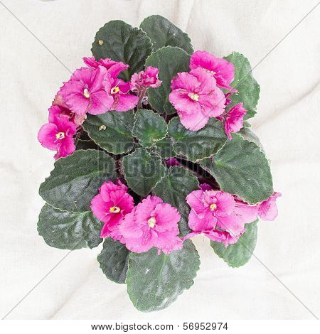 Pink viola flower